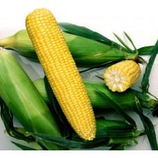 Насіння цукрової кукурудзи Ноа F1
